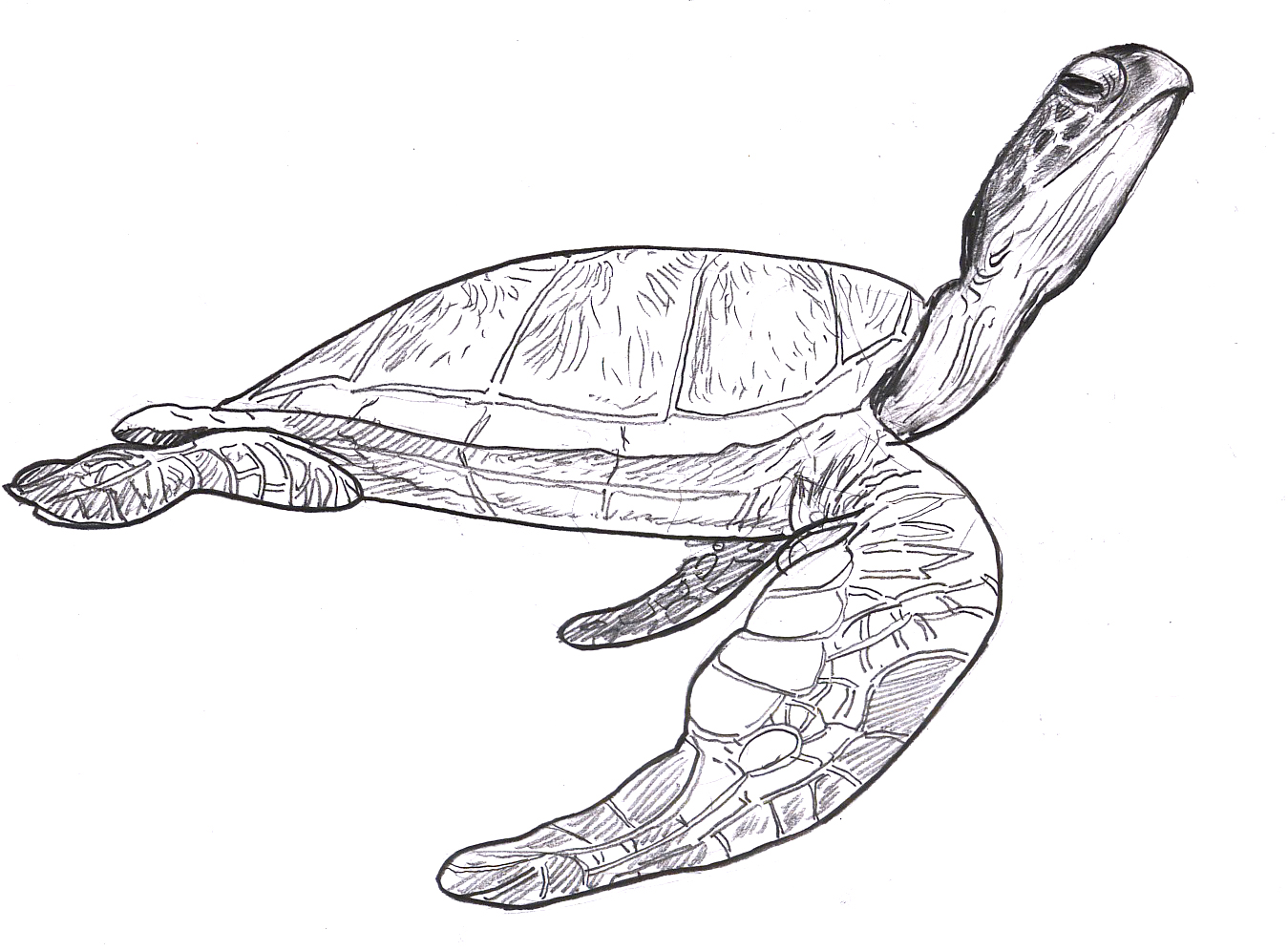 Uncategorized Drawing Of Sea Turtle sea turtles steve brodner i cant think of too many things more beautiful than a turtle my black and white drawing doesnt do any justice to these amazing creatures